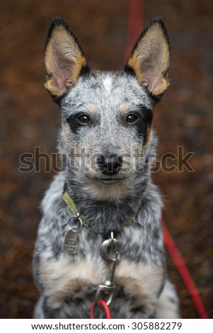 Blue Heeler puppy at a campground on a leash - stock photo