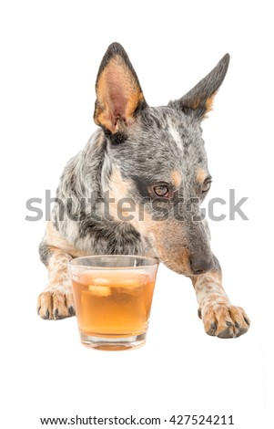Blue Heeler puppy enjoying a glass of schotch whiskey isolated on white - stock photo