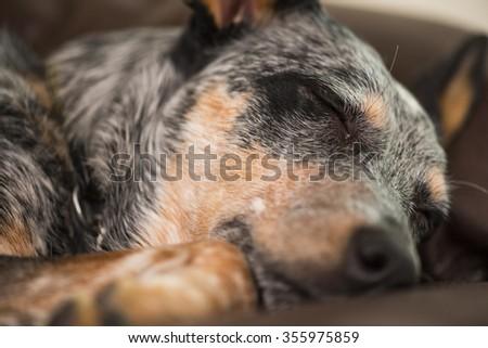 Blue Heeler puppy sleeping - stock photo