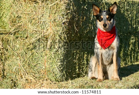 Blue Heeler puppy sporting a red bandana on hay bales - stock photo
