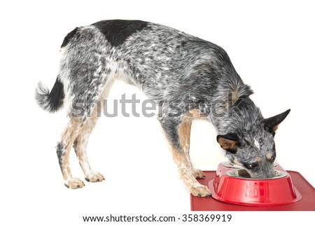 Blue Heeler puppy with water and food dish at feeding time - stock photo