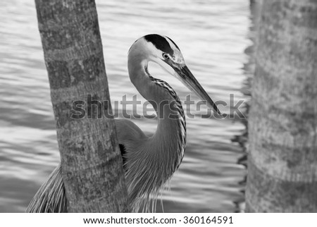 Blue Heron and the Palm