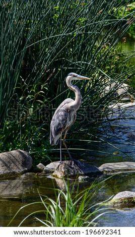 Blue  Heron at Los Angeles River. A Closeup Shot of a Great Blue Heron - stock photo