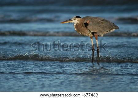 Blue heron at shoreline - stock photo