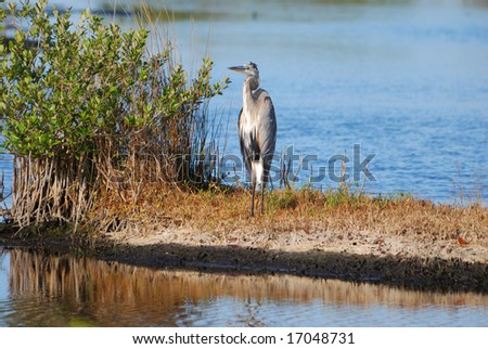 Blue Heron next to Mangrove Shrub - stock photo