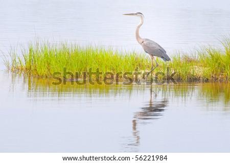 blue heron wading in marsh grasses - stock photo