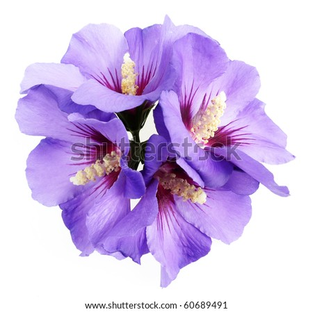 blue hibiscus flowers - stock photo