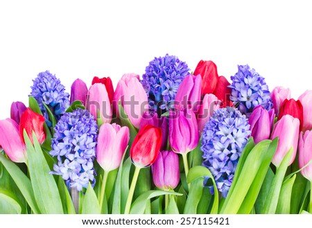 blue hyacinth and  tulips border   isolated on white background - stock photo