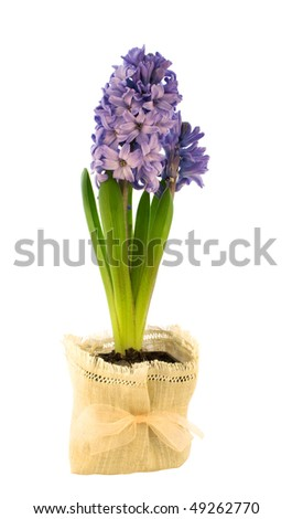 blue hyacinth in a flower pot on a white - stock photo
