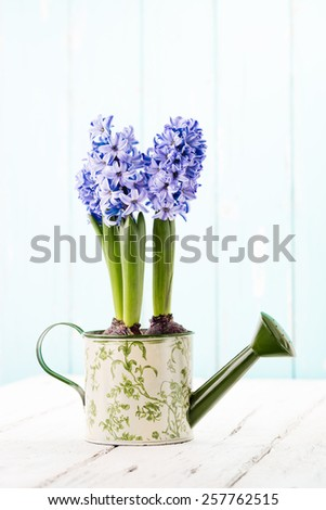 Blue Hyacinth in a painted watering can. - stock photo