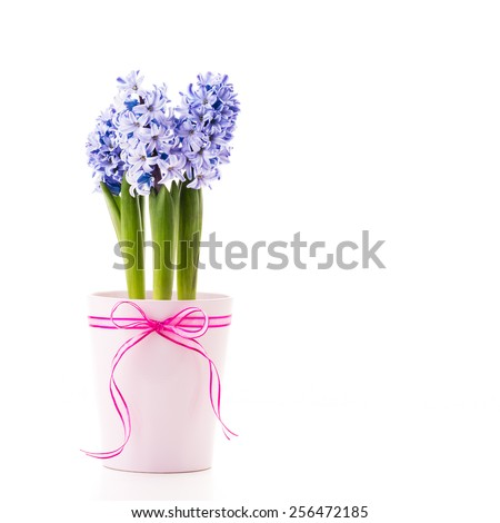 Blue Hyacinth in a pink flower pot with a ribbon. - stock photo