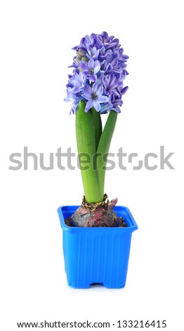 Blue hyacinth isolated on white - stock photo