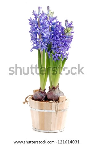 blue hyacinth isolated on white background - stock photo