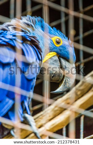 Blue Hyacinth macaw parrot in zoo.  - stock photo
