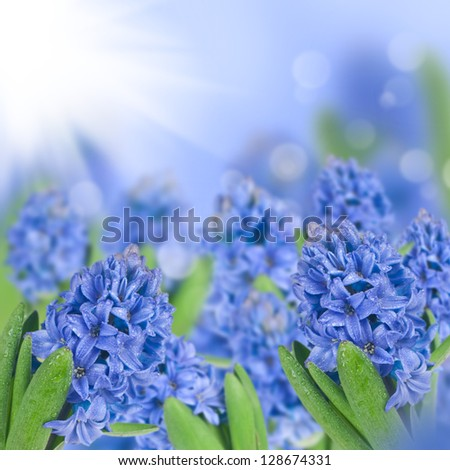 Blue hyacinth with bokeh background - stock photo
