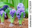 Blue hyacinths - stock photo