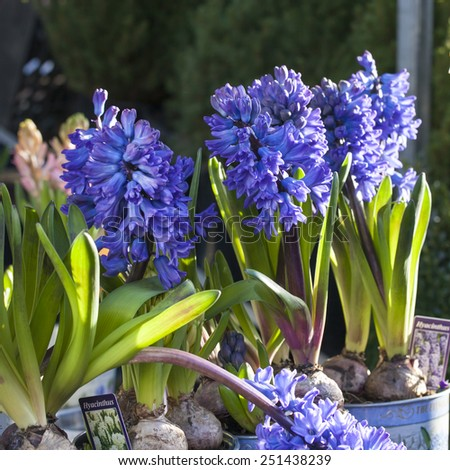 blue hyacinths for sale - stock photo