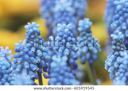Blue Hyacinths isolated at the flower bed