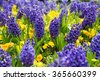 Blue hyacinths on a bed of autumn floral background - stock photo