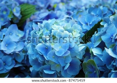 Blue Hydrangea - stock photo