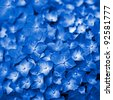 Blue Hydrangea flower. Hydrangea - common names Hydrangea and Hortensia. - stock photo