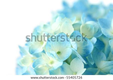 Blue Hydrangea Flower on white background - stock photo