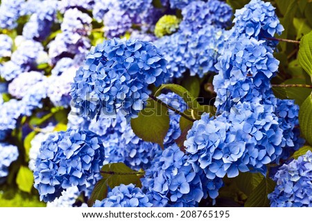 Blue hydrangea (Hydrangea macrophylla) in a garden. - stock photo