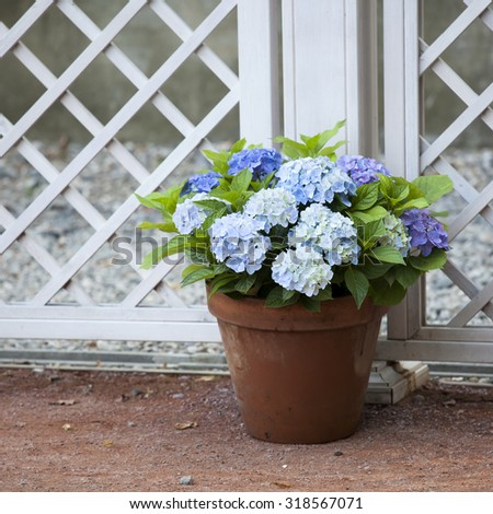 blue hydrangea in the pot at the white fence - stock photo