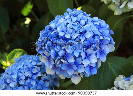 Blue Hydrangea on Sao Miguel Island in the Azores Portugal - stock photo