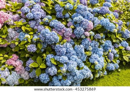 Blue Hydrengea shrubs as a hedge in a garden. - stock photo