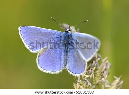 Blue Idas Butterfly - stock photo