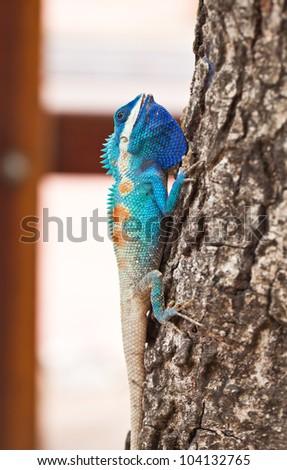Blue iguana - stock photo