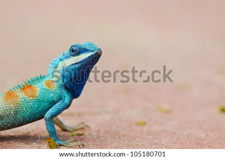 Blue iguana in the nature - stock photo