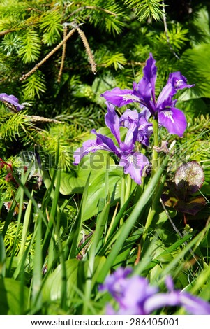 Blue iris blooms on coastal hillsides,  Cape Perpetua,  Oregon Coast - stock photo