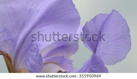 Blue Iris flower - Close-up - stock photo