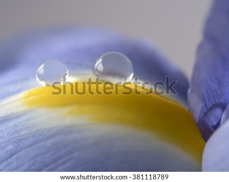 Blue Iris flower with water drop in close up - stock photo