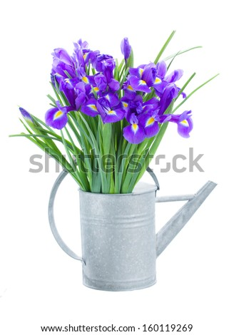 blue  irise flowers in watering can    isolated on white background - stock photo