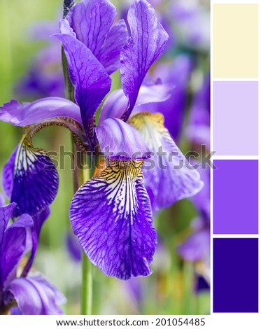 Blue irises  background  with complimentary swatches. - stock photo