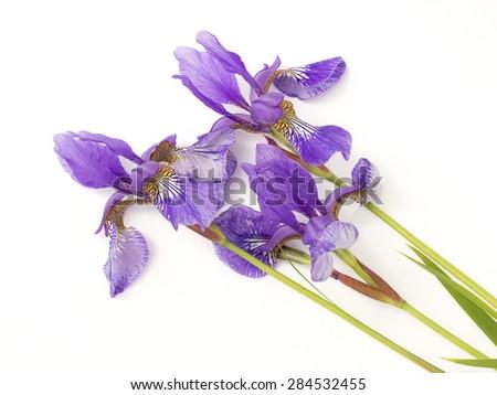 blue irises on a white background - stock photo