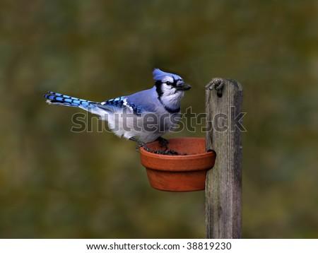 blue jay 2 - stock photo
