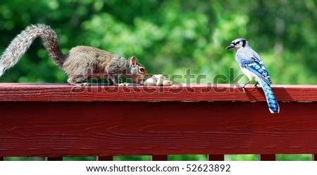 Blue Jay and squirrel - stock photo