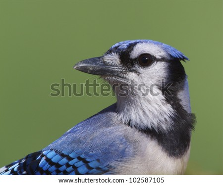 Blue Jay close up portrait, head turned, green background