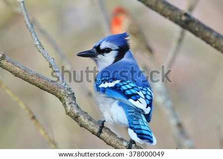 Blue Jay - Colorful Wild Bird Background - Colors in Nature