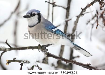 Blue Jay (corvid cyanocitta) and an apple tree with snow - stock photo