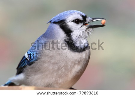 Blue Jay (corvid cyanocitta) on a stump with a peanut