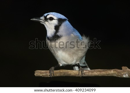 Blue Jay (corvid cyanocitta) perched with a black background - stock photo