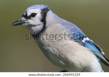 Blue Jay (corvid cyanocitta) with a green background