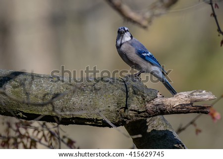 Blue Jay (Cyanocitta cristata) in early springtime, perched on a branch - stock photo