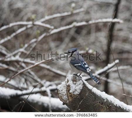 blue jay,Cyanocitta cristata is a passerine bird in the family Corvidae in snow - stock photo