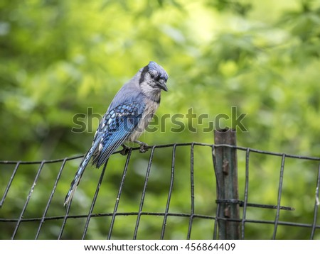 blue jay, Cyanocitta cristata is a passerine bird in the family Corvidae, native to North America - stock photo